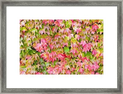 Boston Ivy Framed Print