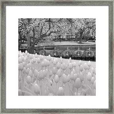 Boston Public Garden Swan Boats - Black And White Framed Print