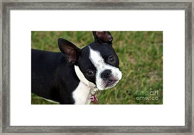 Boston Terrier Puppy Framed Print by Marvin Blaine
