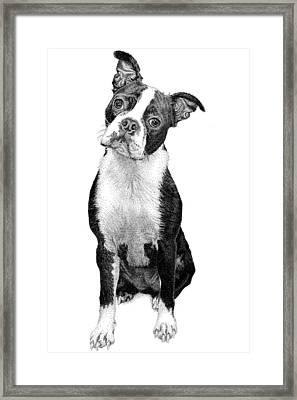 Boston Terrier Framed Print by Rob Christensen