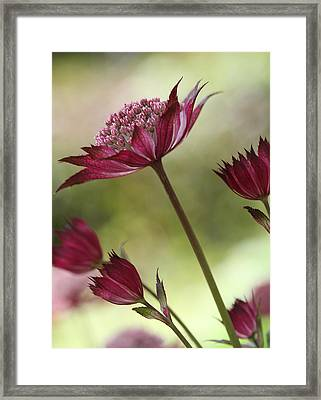Botanica Framed Print by Connie Handscomb