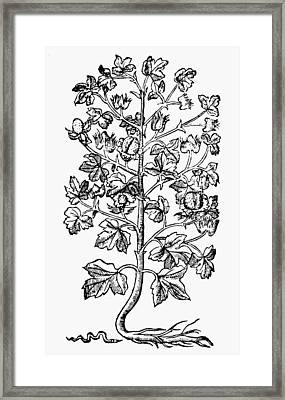 Botany Cotton Plant, 1579 Framed Print by Granger