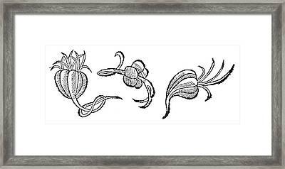 Botany Garlic Bulbs, 1512 Framed Print