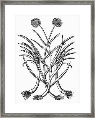 Botany Leek, 1565 Framed Print by Granger