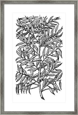 Botany Olive Tree, 1579 Framed Print by Granger