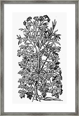 Botany Parsley, 1579 Framed Print by Granger