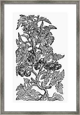Botany Tomato Plant Framed Print