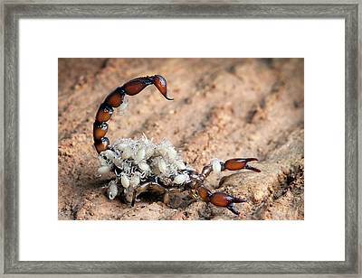 Bothriurus Scorpion Framed Print by Alex Hyde