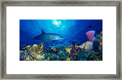 Bottle-nosed Dolphin Tursiops Truncatus Framed Print by Panoramic Images