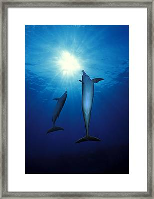 Bottle-nosed Dolphins Tursiops Framed Print by Panoramic Images