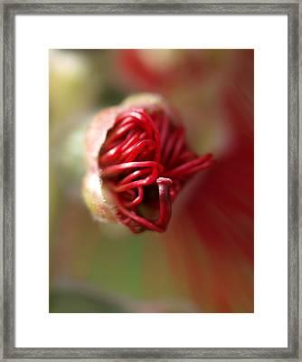 Bottlebrush Bud Framed Print by Michaela Perryman