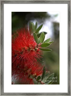 Bottlebrush In Red Framed Print by Joy Watson