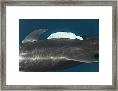 Bottlenose Dolphin And Remora Framed Print by Christopher Swann