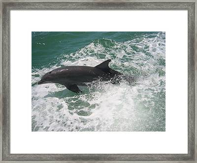 Bottlenose Dolphin Catching A Wave Framed Print by Jean Marie Maggi