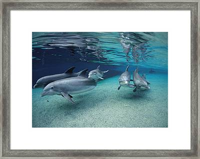 Bottlenose Dolphins In Shallow Water Framed Print by Flip Nicklin