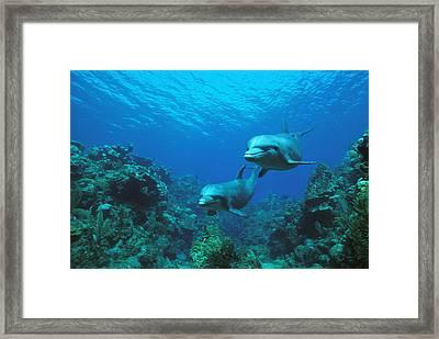 Bottlenose Dolphins Over Reef Framed Print by Konrad Wothe