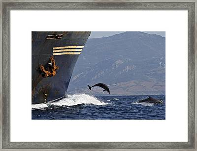 Bottlenose Dolphins Playing Framed Print by M. Watson