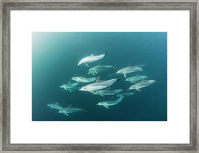 Bottlenose Dolphins Framed Print by Scubazoo