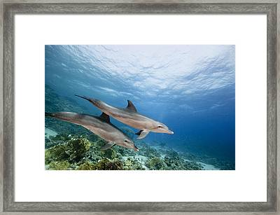 Bottlenose Dolphins Swimming Over Reef Framed Print by Dray van Beeck