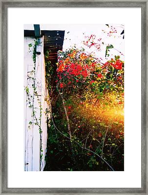 Bougainvilla  Framed Print