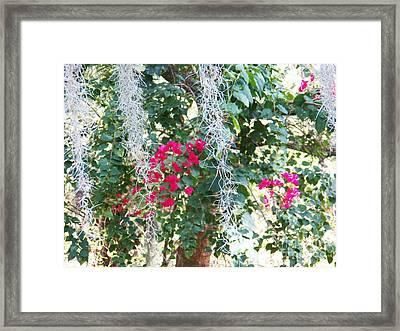 Bougainvillea 1 Framed Print by Judy Via-Wolff