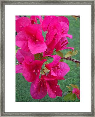 Bougainvillea Dream #2 Framed Print