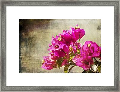 Bougainvillea Dreams Framed Print by Pamela Gail Torres