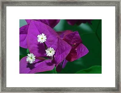 Bougainvillea Flower Framed Print by Dirk Wiersma