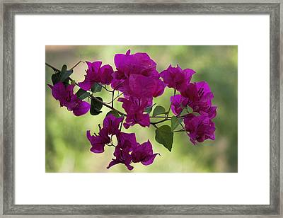 Bougainvillea Framed Print by Fred Larson