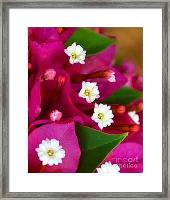 Framed Print featuring the photograph Bougainvillea- Fuschia by Darla Wood