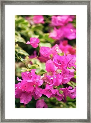 Bougainvillea Spectabilis Flowers Framed Print by Maria Mosolova