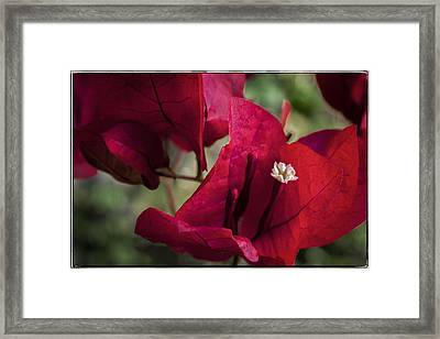 Framed Print featuring the photograph Bougainvillea by Steven Sparks