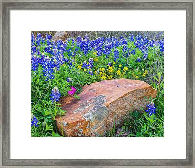 Boulder And Bluebonnets Framed Print by Thomas Pettengill