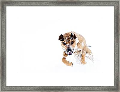 Bounding In Snow Framed Print by Thomas R Fletcher