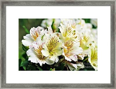 Bouquet Of Alstroemeria Framed Print by Kaye Menner