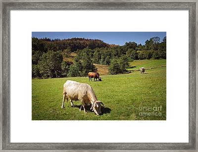Bovine Cattle  Framed Print