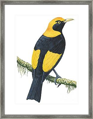 Bowerbird  Framed Print by Anonymous
