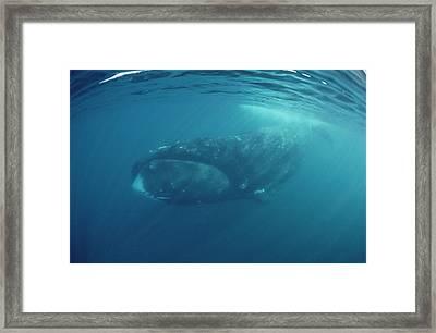Bowhead Whale Baffin Isl Canada Framed Print