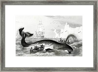 Bowhead Whale Being Hunted Framed Print by Collection Abecasis
