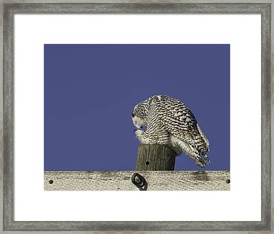 Bowing Snowy Owl Framed Print by Thomas Young