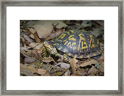 Framed Print featuring the photograph Box Turtle Sunning by Bradley Clay