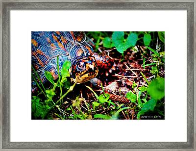 Box Turtle Framed Print by Tara Potts