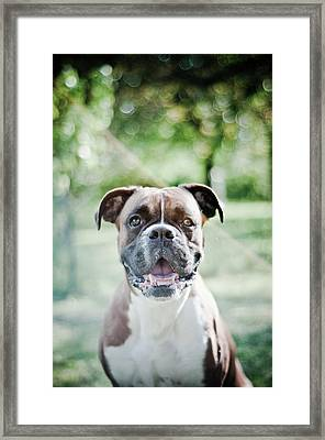 Boxer Dog Breed Framed Print by Yanis Ourabah