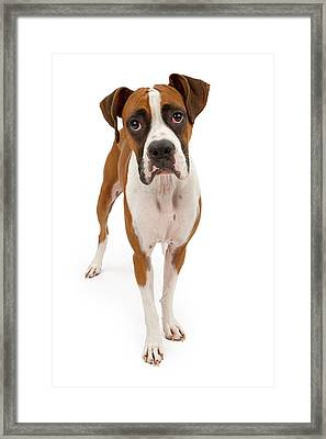 Boxer Dog Isolated On White Framed Print