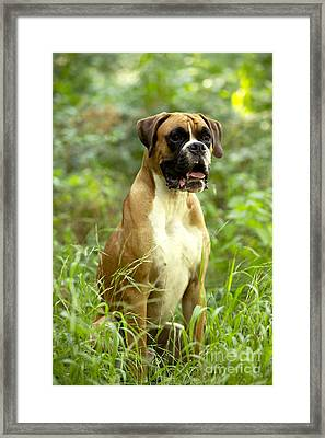 Boxer Dog Framed Print by Jean-Michel Labat