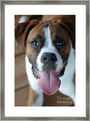 Boxer Dog Framed Print by Jt PhotoDesign