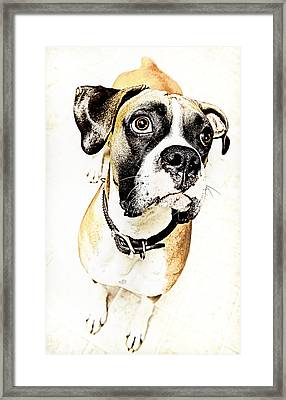 Framed Print featuring the photograph Boxer Dog Poster by Peter v Quenter
