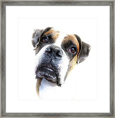 Boxer Expression Framed Print by Susan Leggett