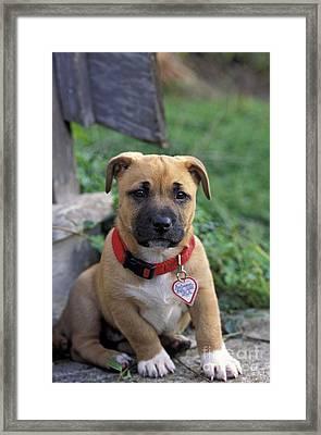 Boxer Mix Puppy Dog Framed Print