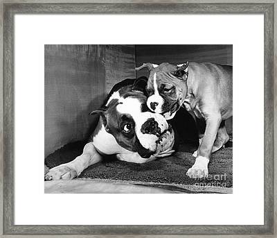 Boxer Playing With Puppy Framed Print by ME Browning